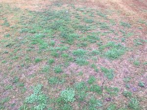 Weeds in turf grass in a bossier lawn